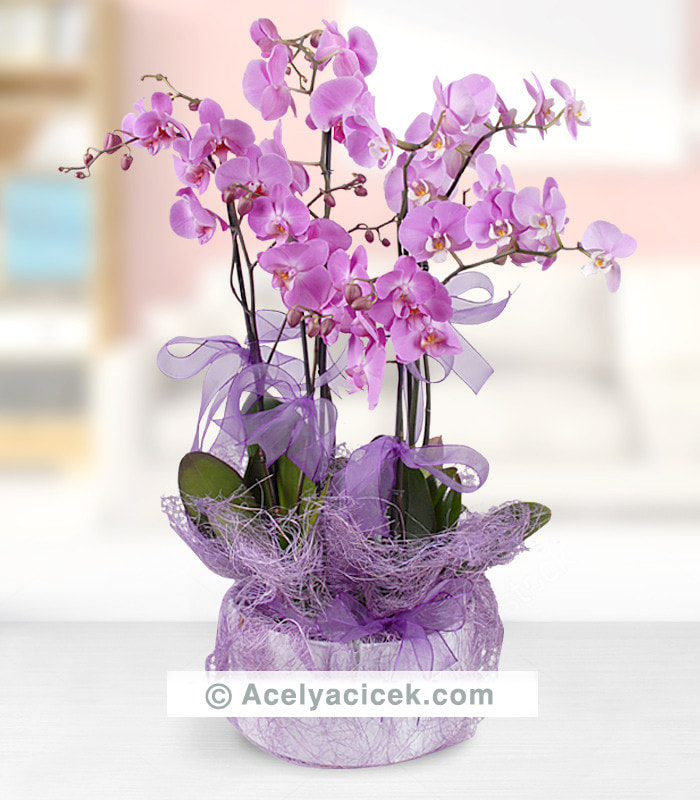 5 Dal Mor Orkide