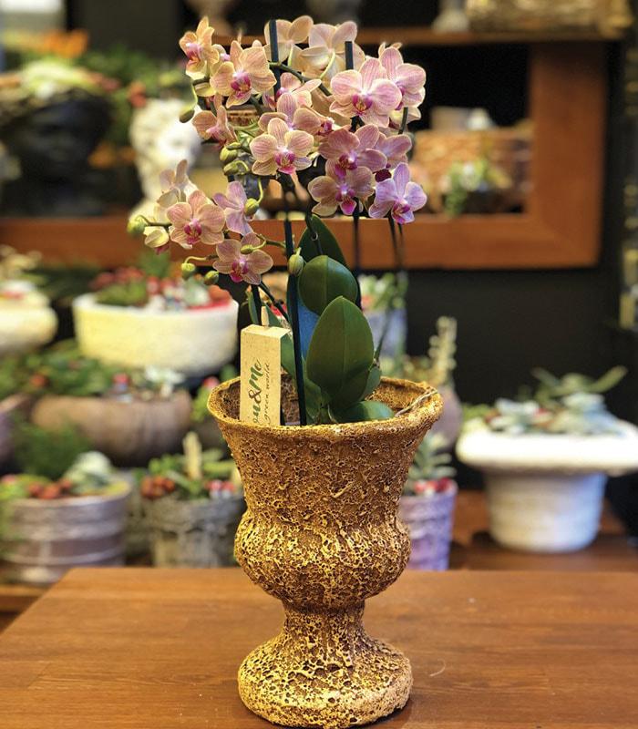 phalaenopsis Orkide Asia