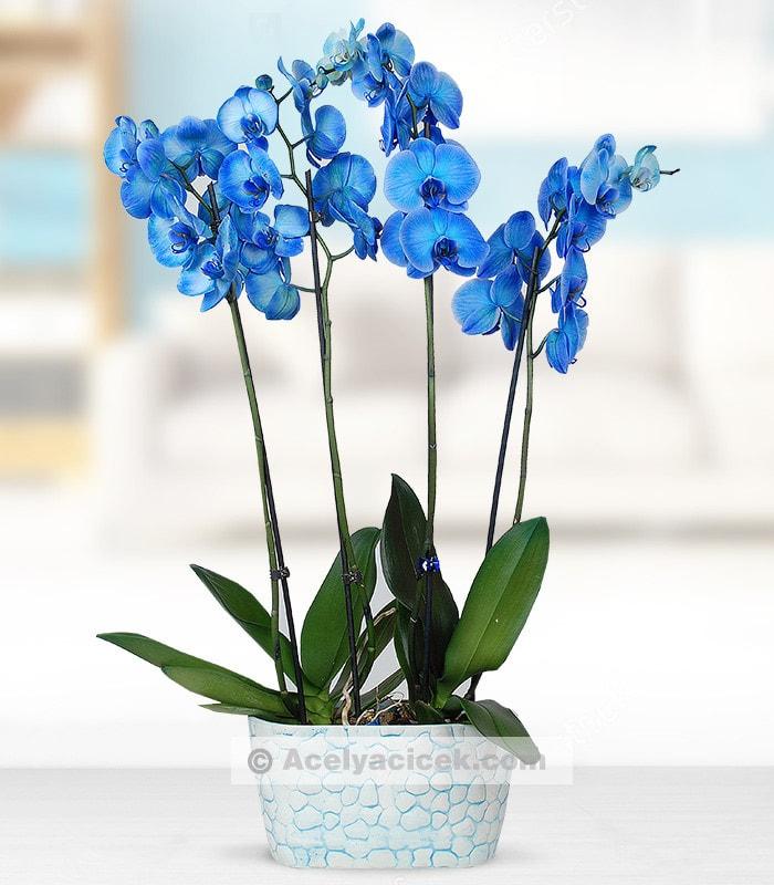 4 Dal Mavi Orkide