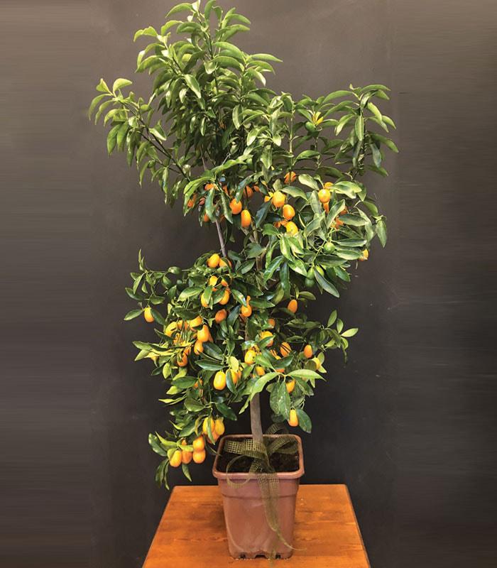 Meyveli Kumkuat