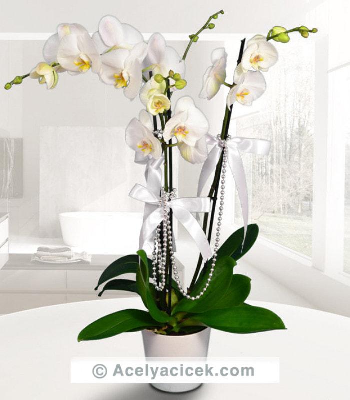 Kraliçe Beyaz Orkide 3 lü