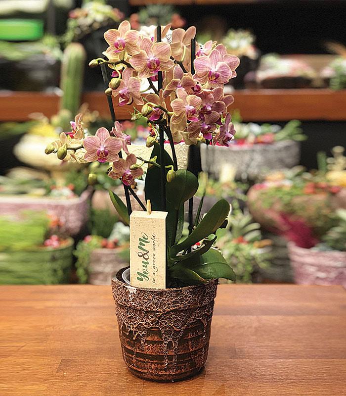 Orkide Minyatür