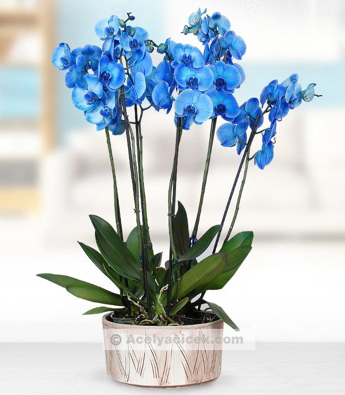 6 Dal Mavi Orkide