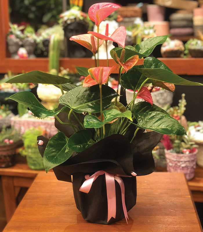 Pembe Antoryum Çiçeği