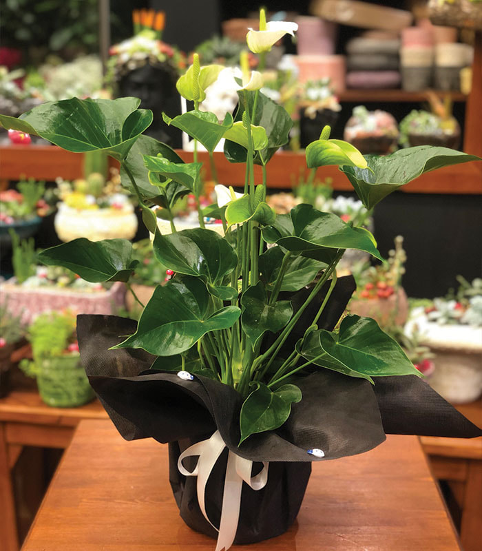 Beyaz Antoryum Bitkisi