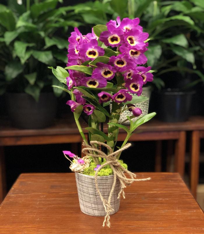 Dendrobium Mor Orkide