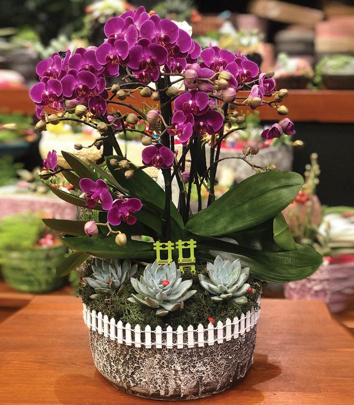 phalaenopsis Fuşya Mini Çiçekli