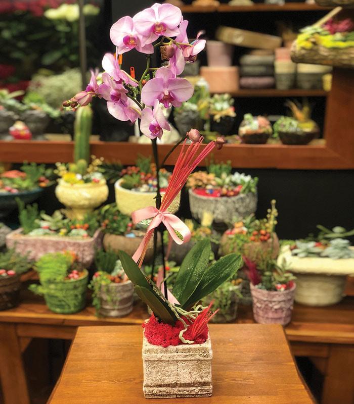 phalaenopsis Pembe Orkide