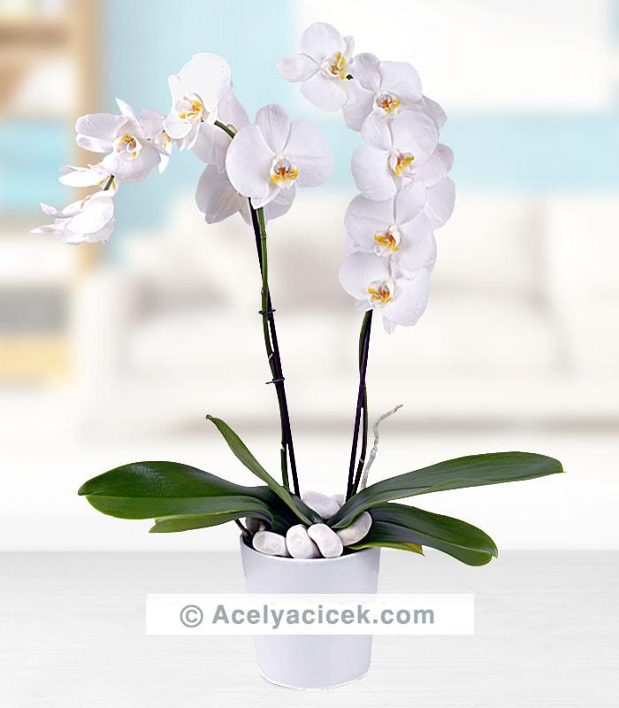 2 li Orkide Çiçeği