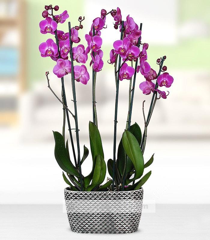 Hasır Saksıda Mor Orkide