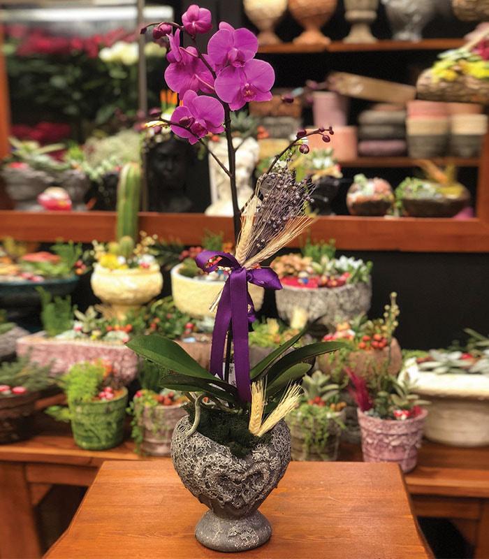 Fuşya Polinoptüs Orkide