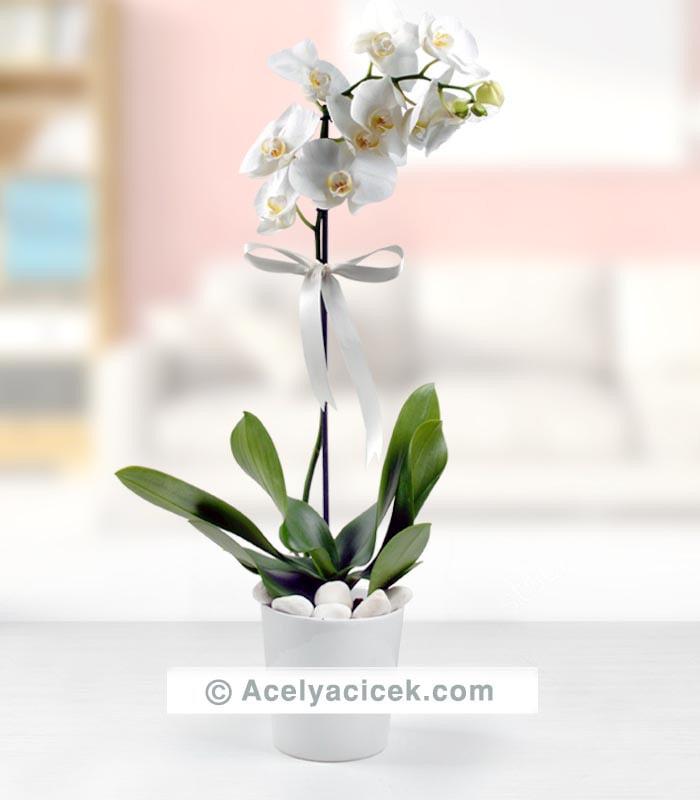 Zarif Beyaz Orkide