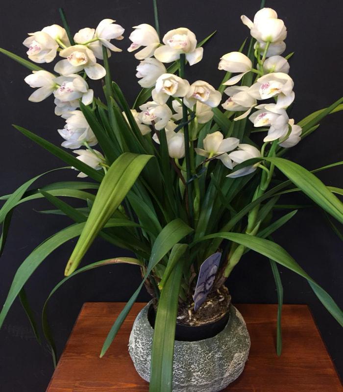 Sipityum Orkide