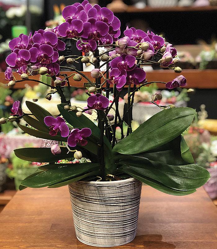 Özel Minyatür Mor Orkide